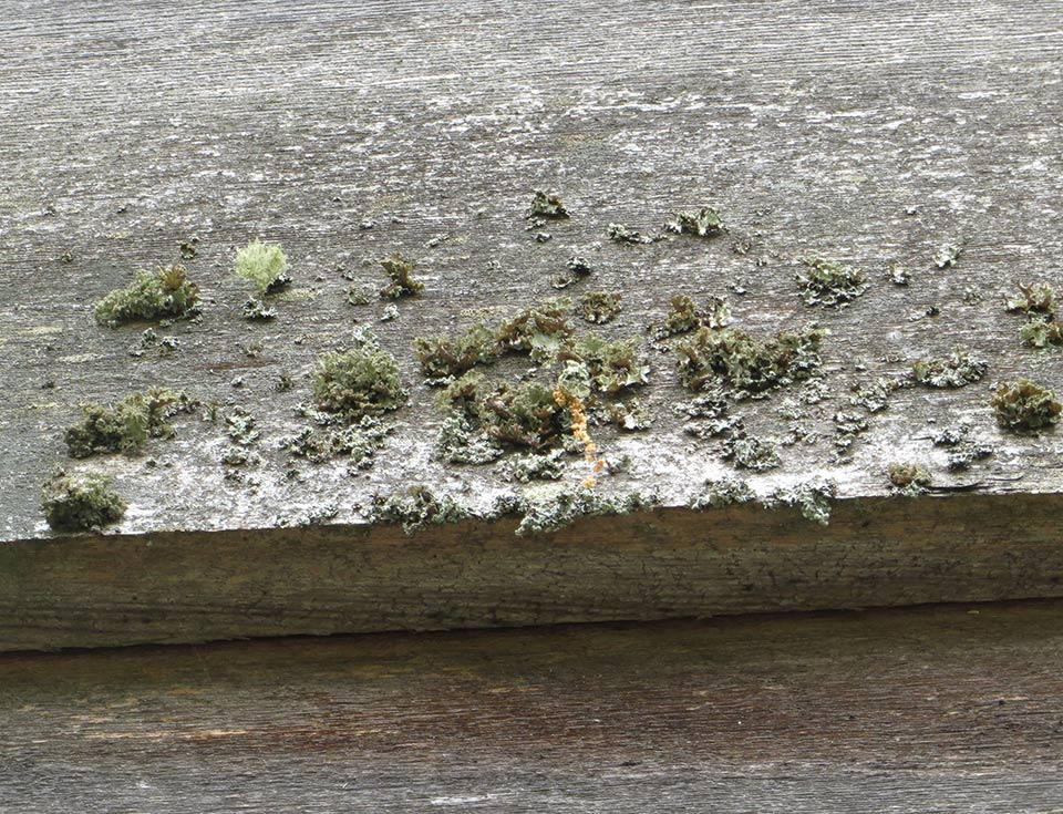 Lichen do not directly damage most materials, such as the wood shown here. However, they do corrode metal and are difficult to remove.